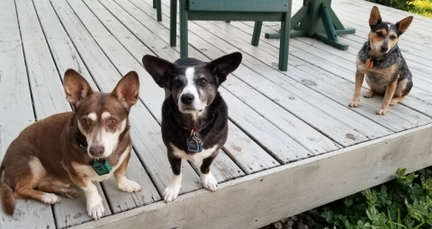 3 small dogs sitting on a deck.